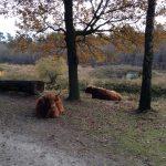Schotse Hooglanders 'kinderboerderij' Dorst